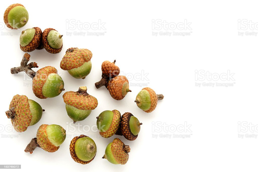 Small group of unripe green acorns on white royalty-free stock photo