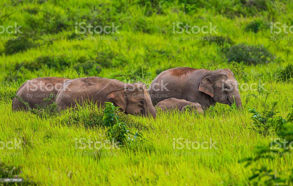 Small group of wild elephant stock photo