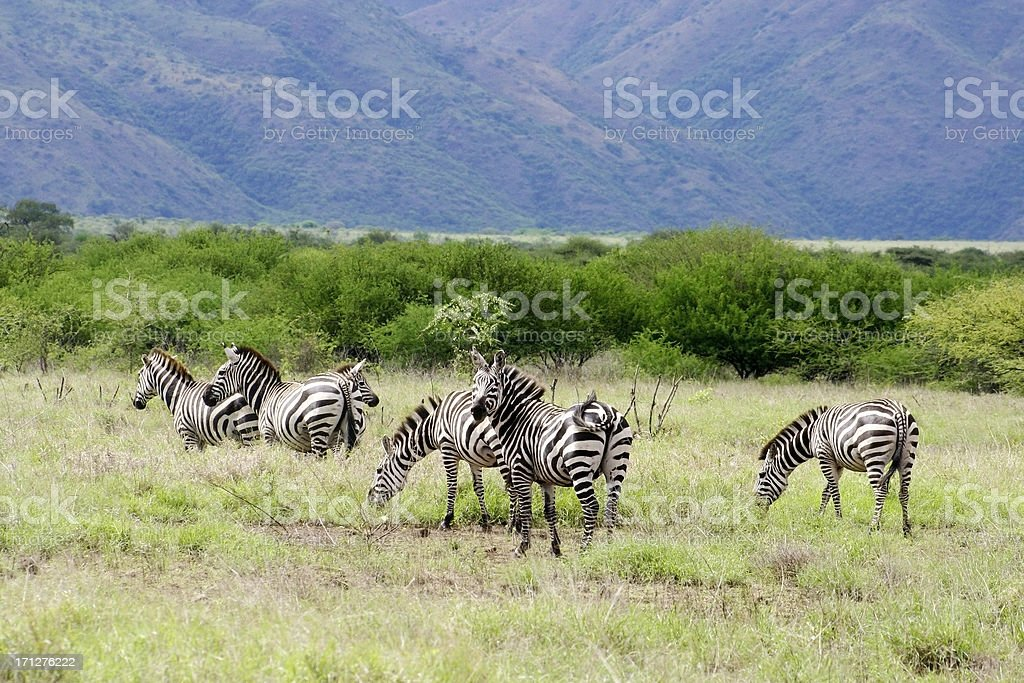 Small group of Zebras stock photo