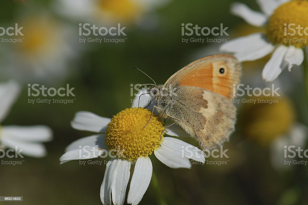 Small Heath butterfly on Chamomile Plant stock photo