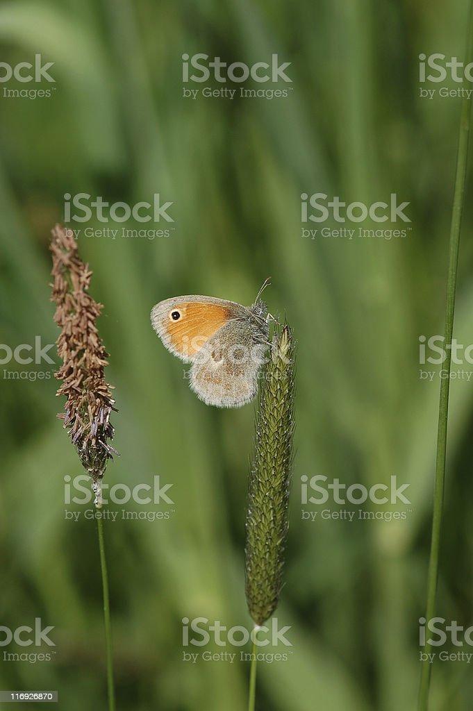 Small Heath butterfly stock photo