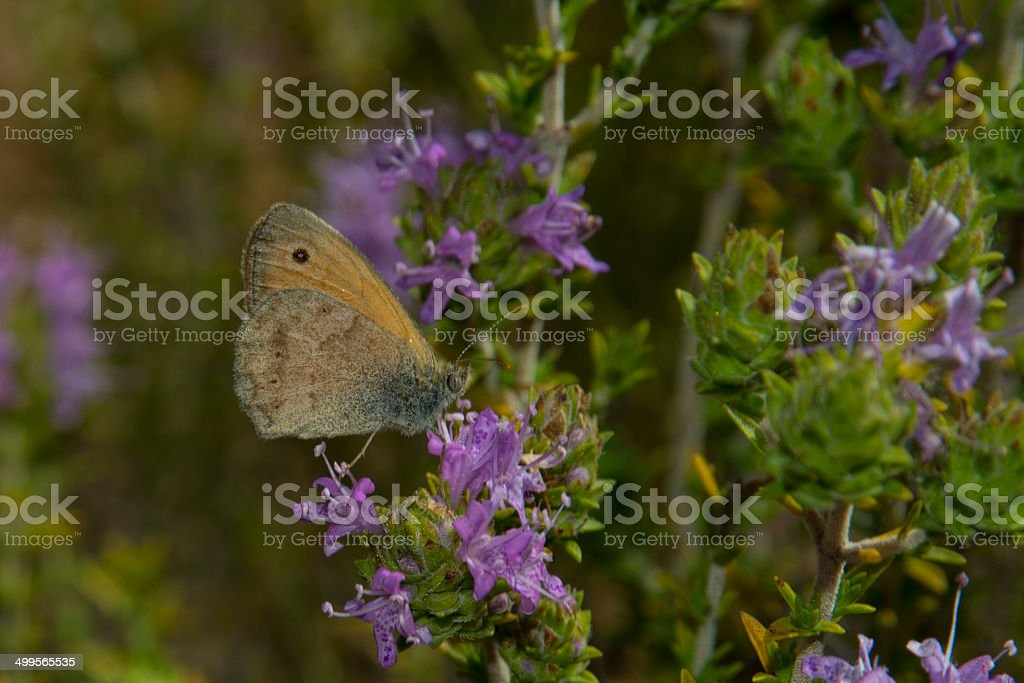 Small Heath Butterfly royalty-free stock photo