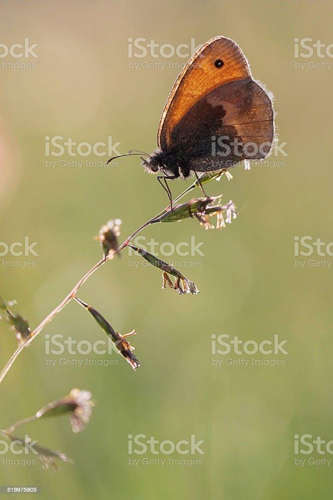 Small Heath Coenonympha pamphilus stock photo