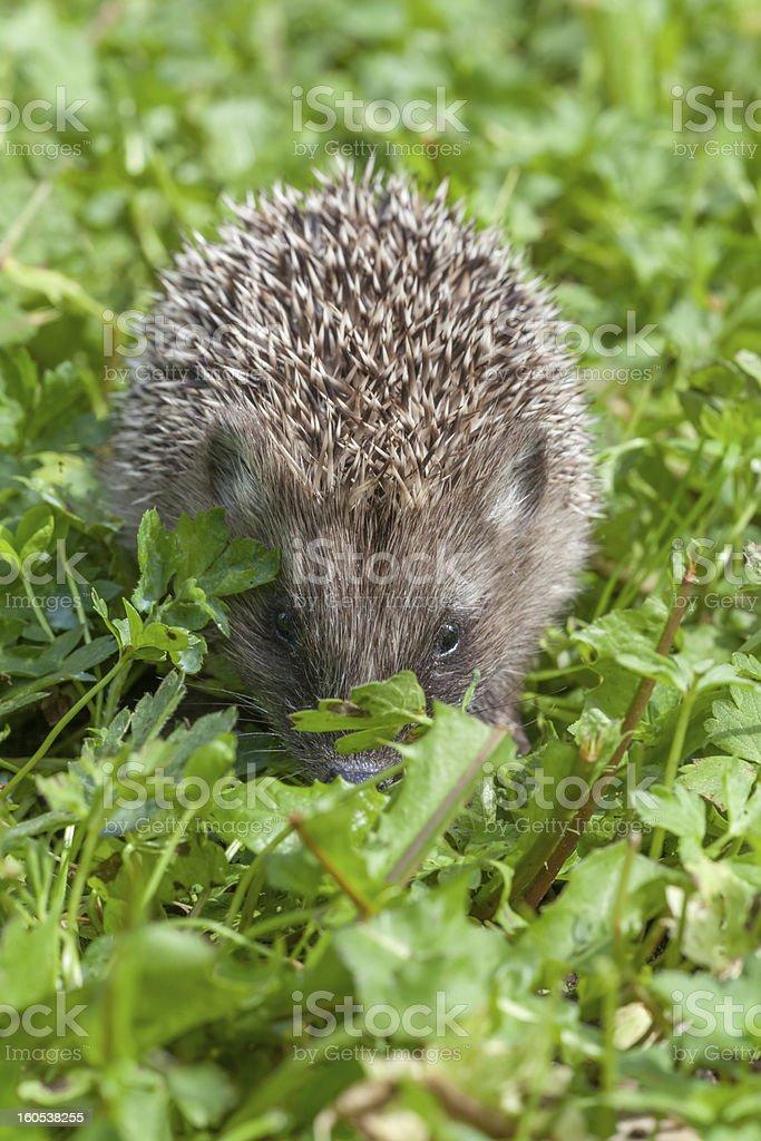 Small hedgehog creeping through a grass royalty-free stock photo