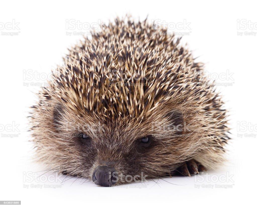 Small hedgehog isolated stock photo