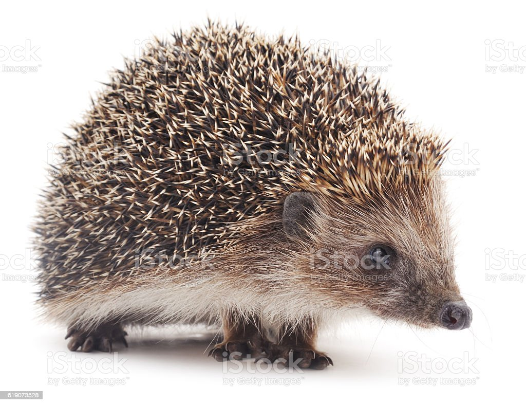 Small hedgehog. stock photo
