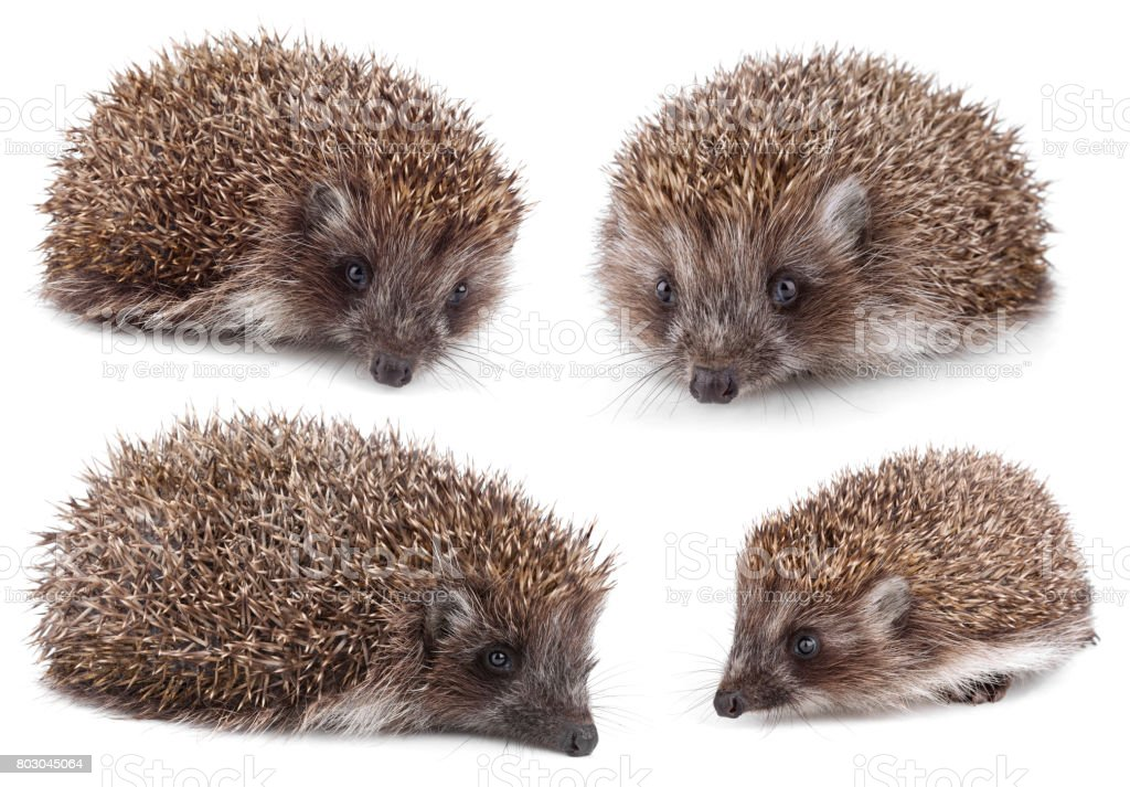 Small hedgehog stock photo