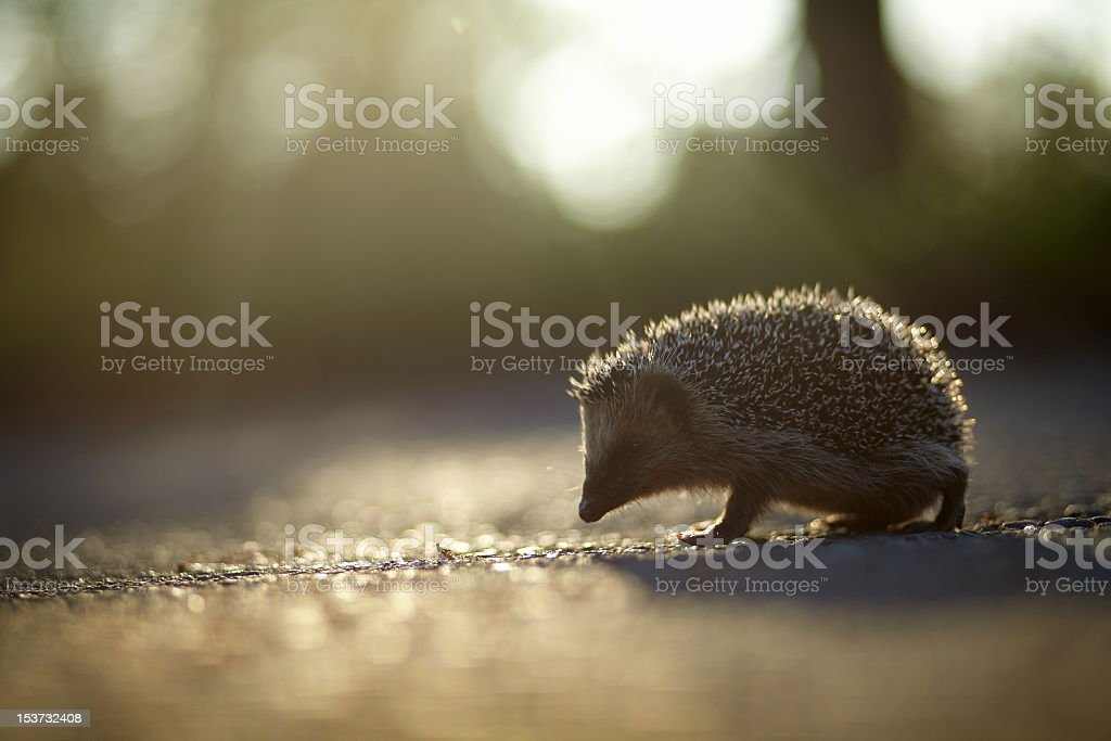 A small hedgehog walking along the ground stock photo