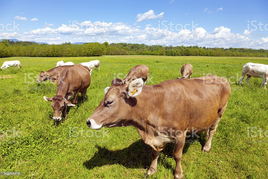 Small herd of cows. Color image. stock photo
