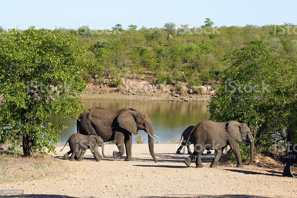 Small herd of Elephants passing close to a river stock photo