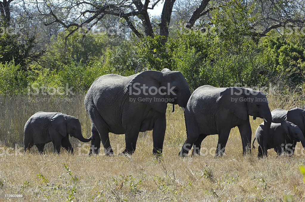 Small herd of elephants stock photo