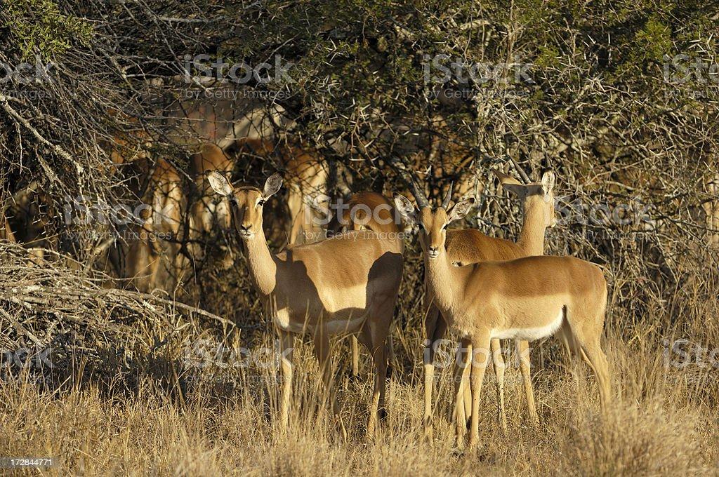 Small herd of impalas stock photo