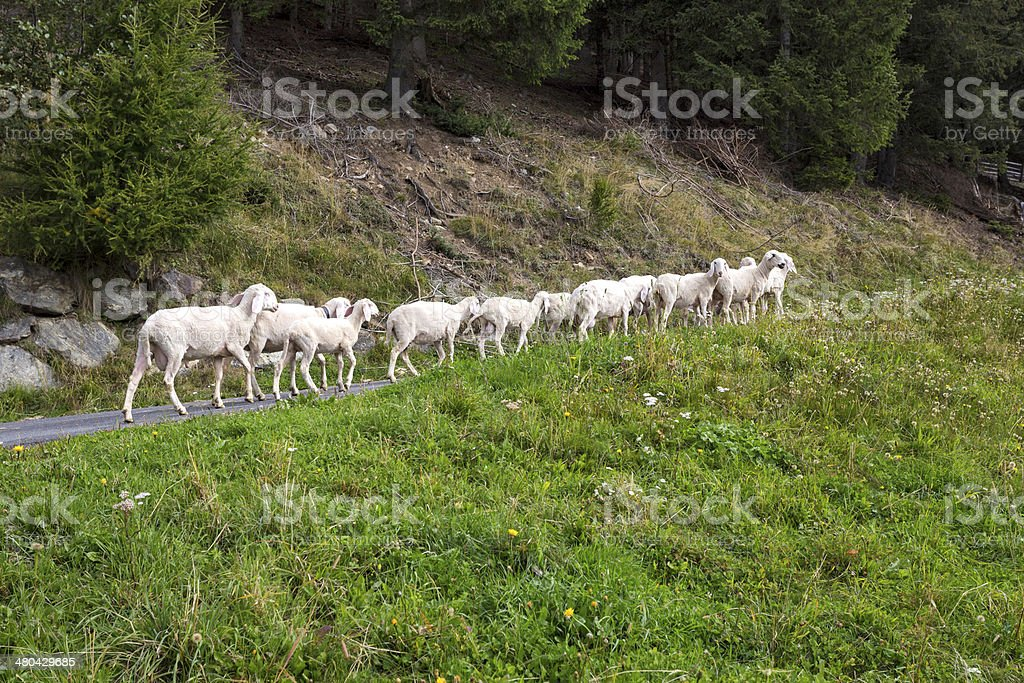 Small herd of sheep in Northern Italy stock photo