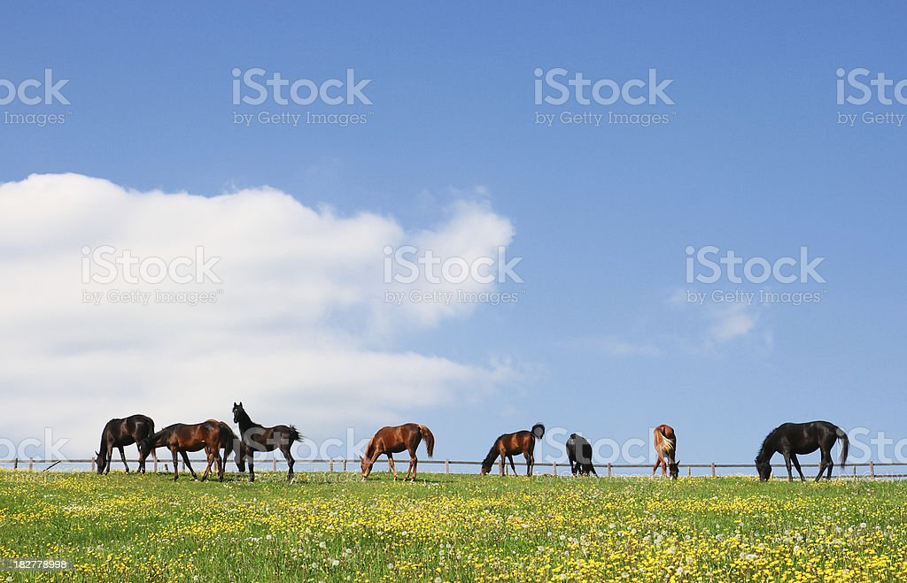 Small Herd of young Arabian Horses on colorful Spring Pasture royalty-free stock photo