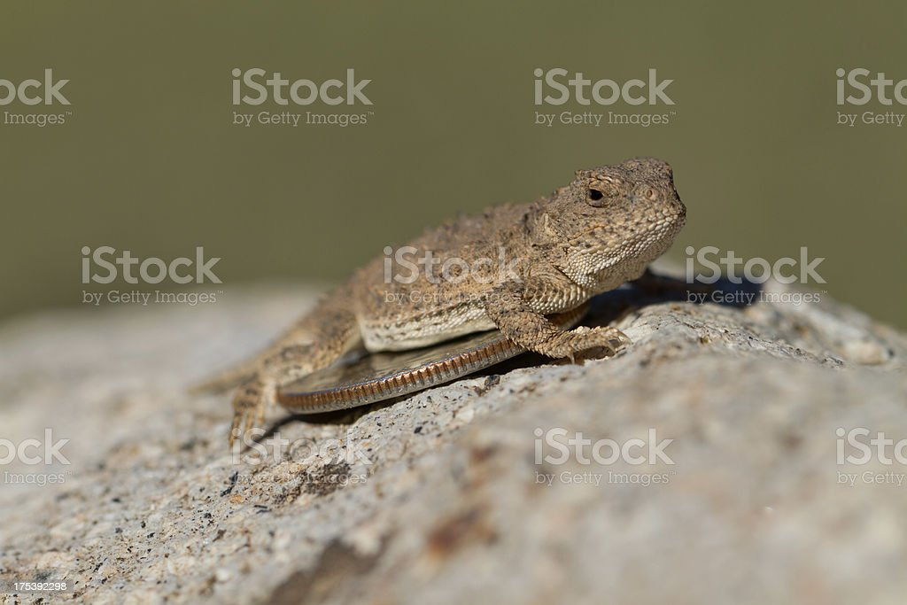 Small Horned Toad royalty-free stock photo
