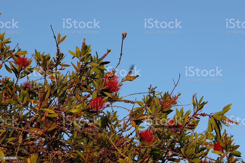 Small hummingbird and flowered tree royalty-free stock photo