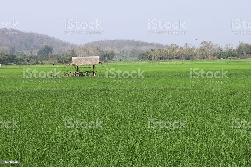 Small hut and rice field stock photo