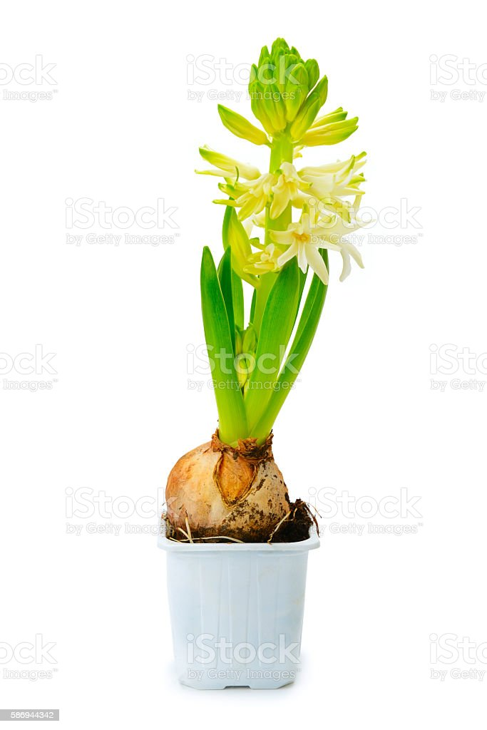 Small hyacinth in pot isolated on white stock photo