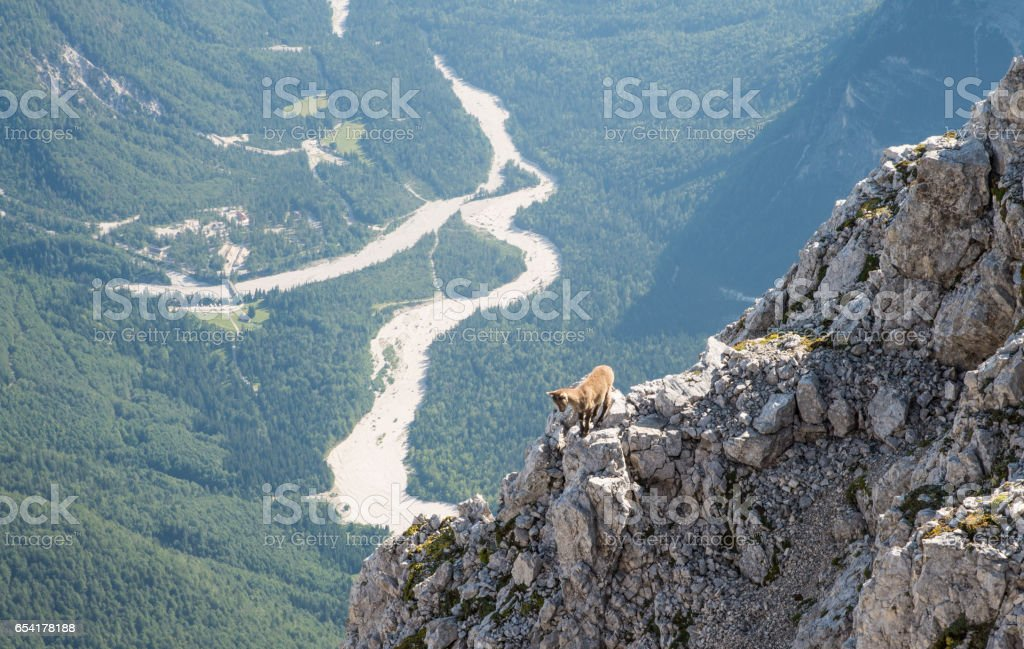 Small ibex animal in nature environment stock photo