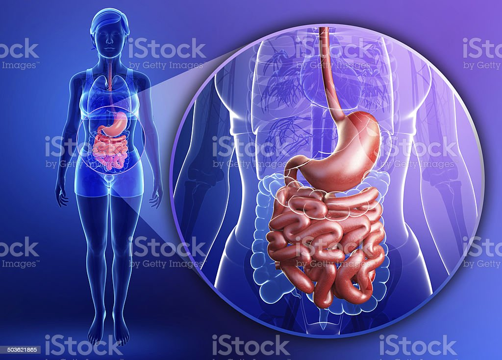 Small intestine anatomy of female stock photo
