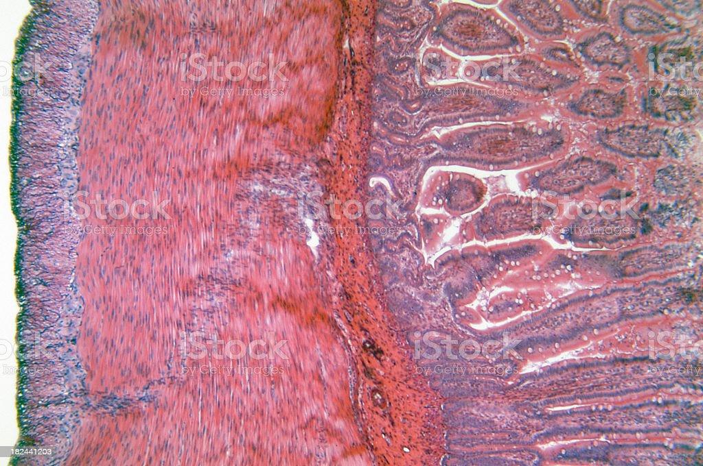 Small Intestine stock photo