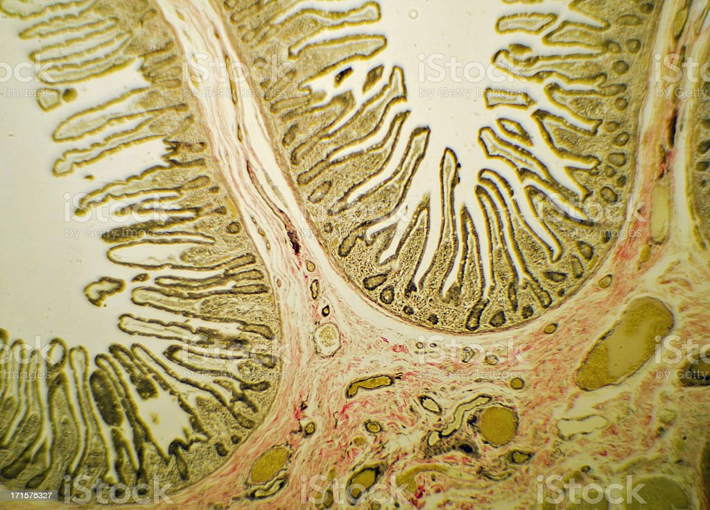 Small Intestine Slide Through Microscope stock photo