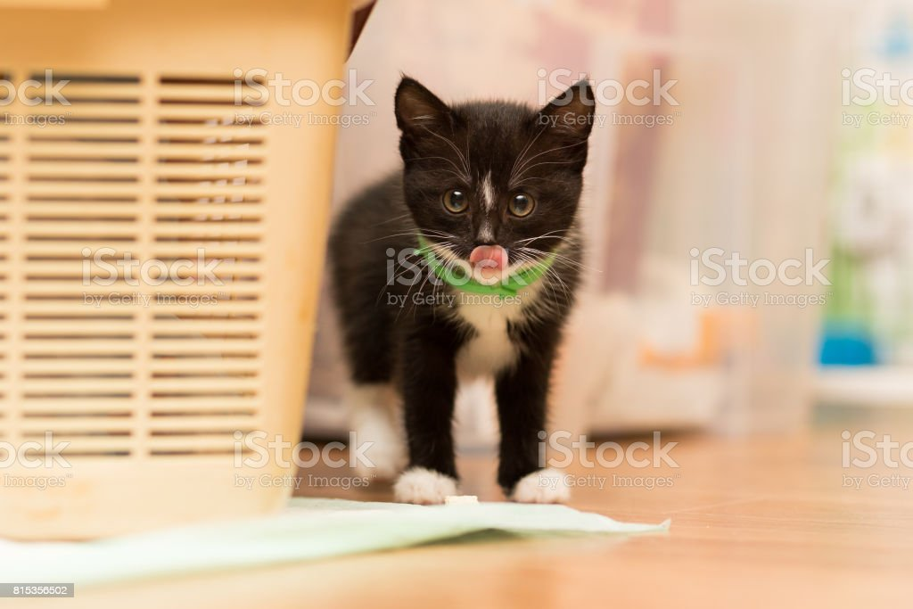 small kitten of black color with a white breast and a green collar of fleas stands on the floor and licks the nose with a tongue stock photo