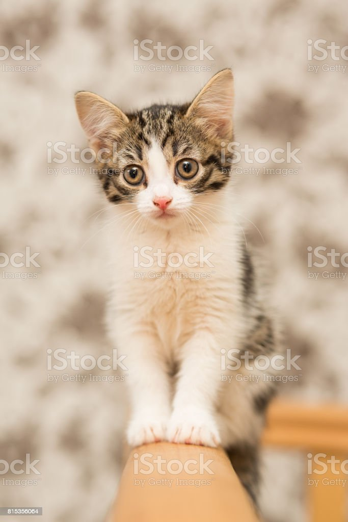 small kitten of gray color with a white breast, female, sitting on wooden rails stock photo