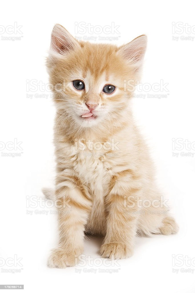Small kitten on white background royalty-free stock photo