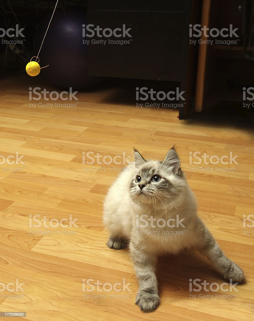 Small kitten plays with ball royalty-free stock photo