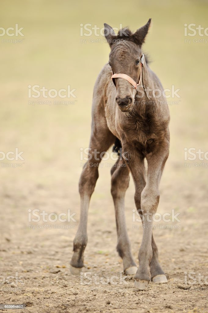 Small kladruber foal standing on countryside grassland stock photo