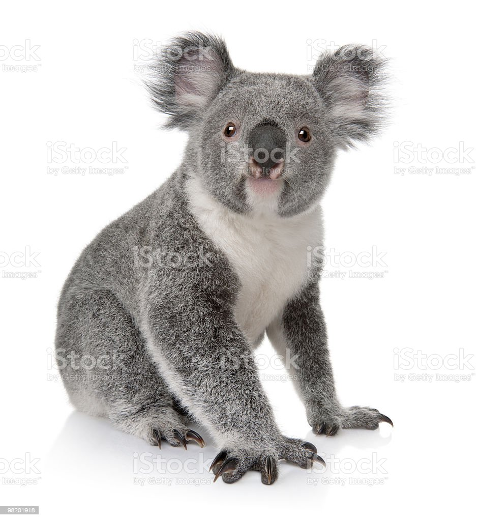 Small koala sitting on white background stock photo