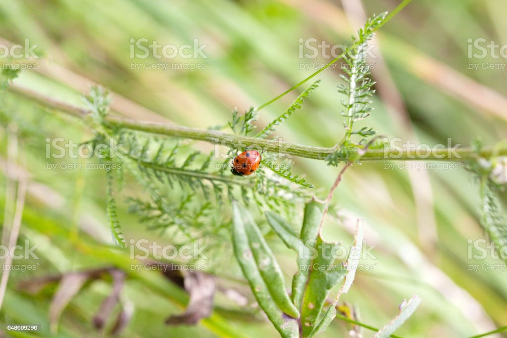 small ladybird stock photo