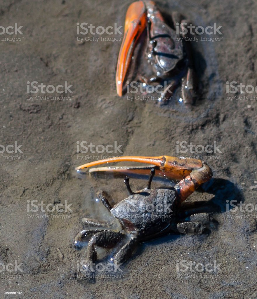 Small Land Crabs on Sand stock photo
