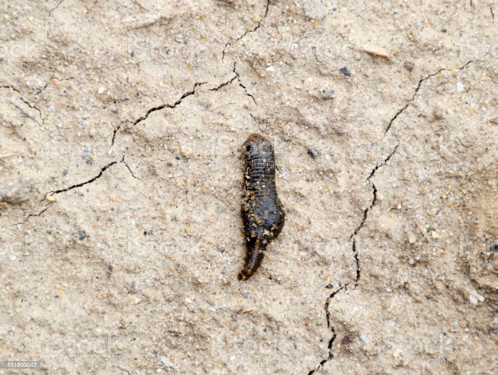 small leech crawls over bare soil in search of moisture. stock photo