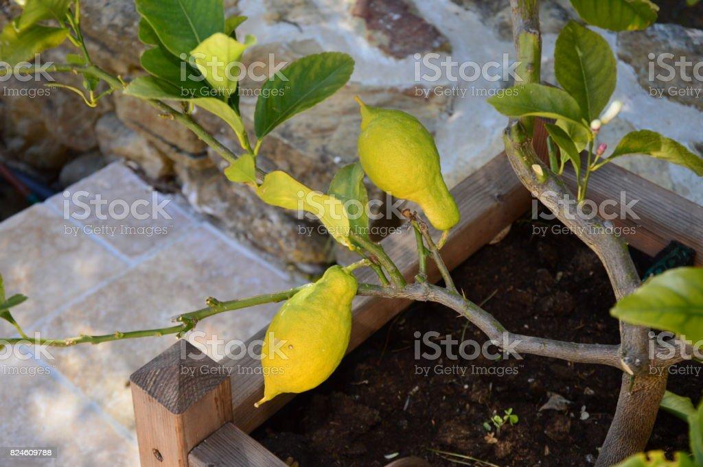A small lemon tree stock photo
