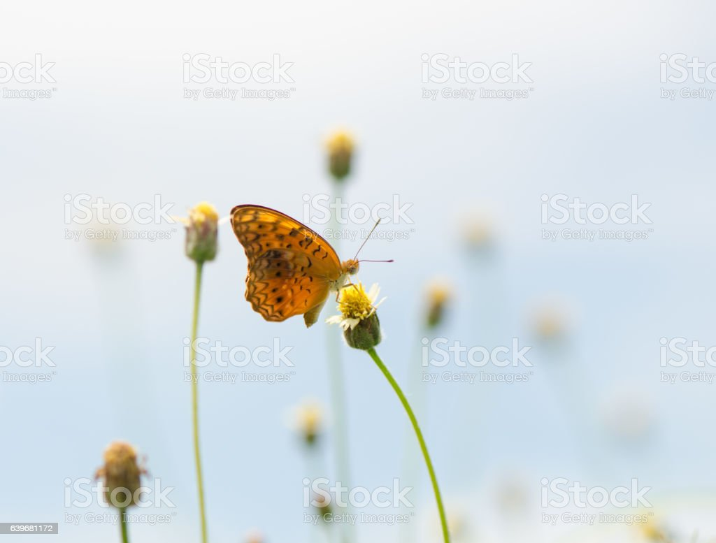 Small Leopard butterfly, Phalanta Alcippe butterfly stock photo