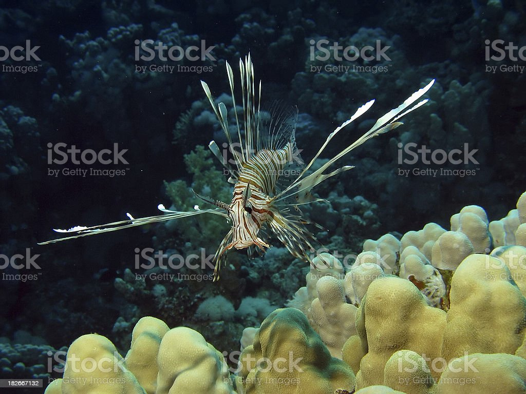 small lionfish stock photo