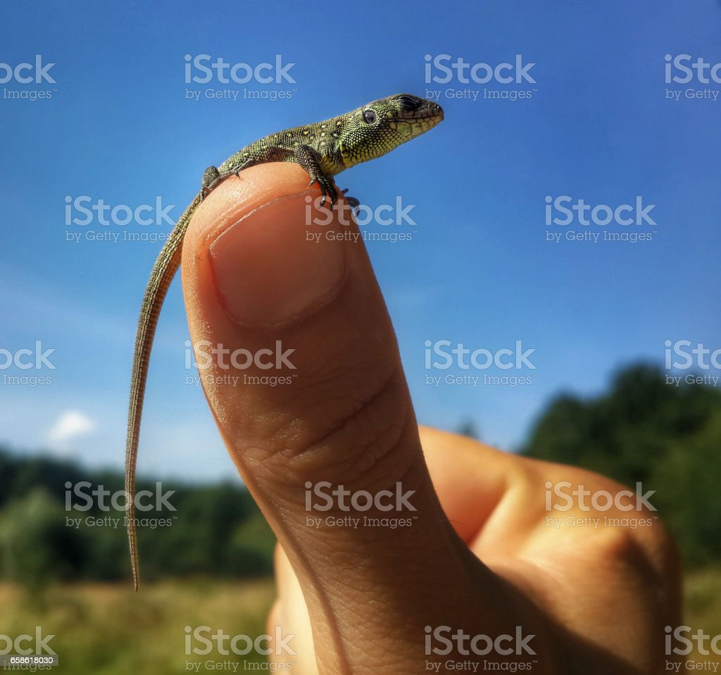 Small lizard baby at the thumb finger stock photo