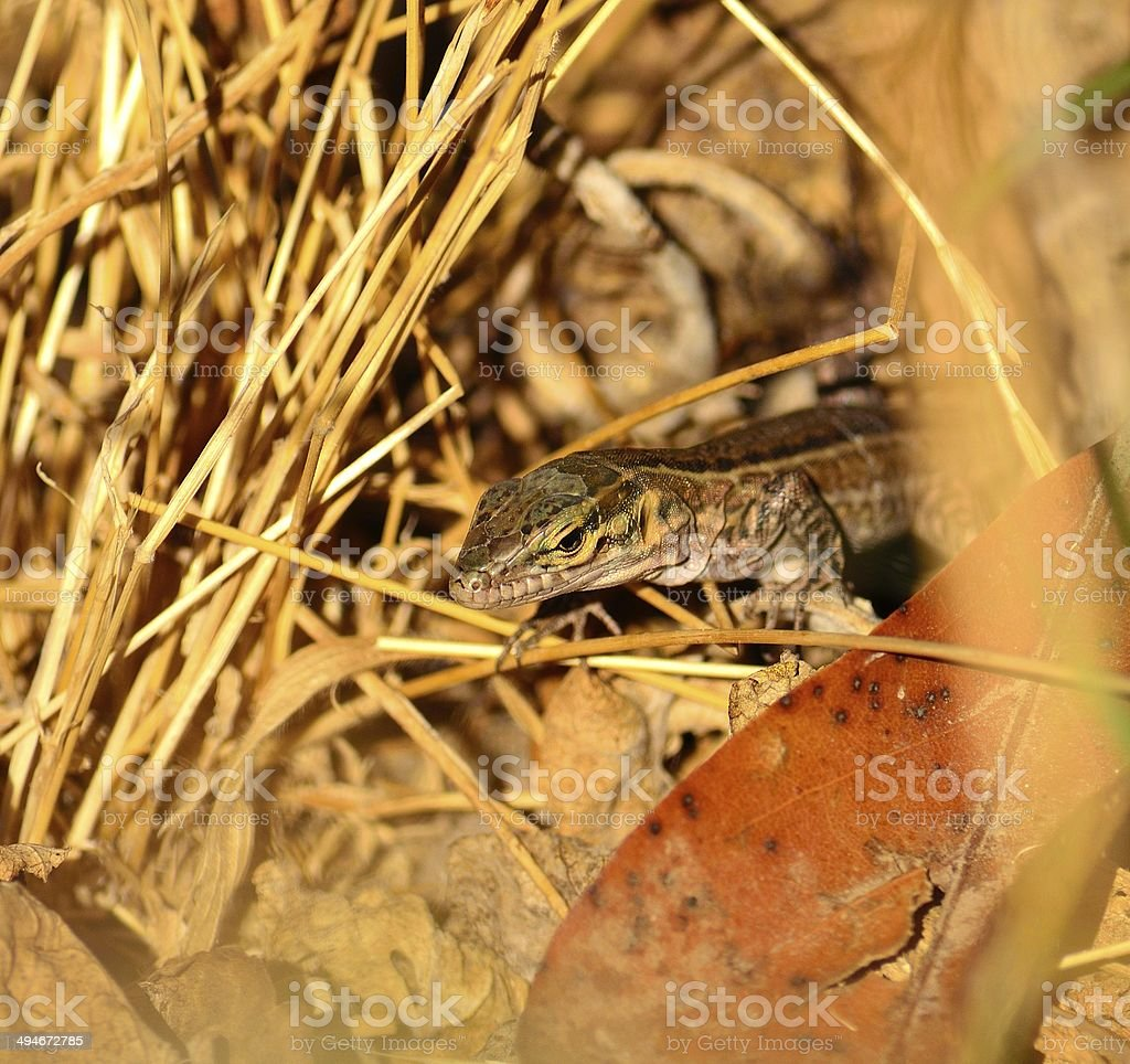 Small lizard between the grasses royalty-free stock photo