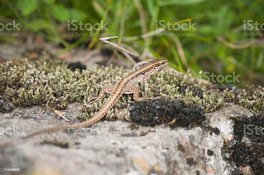 small lizard full frame stock photo