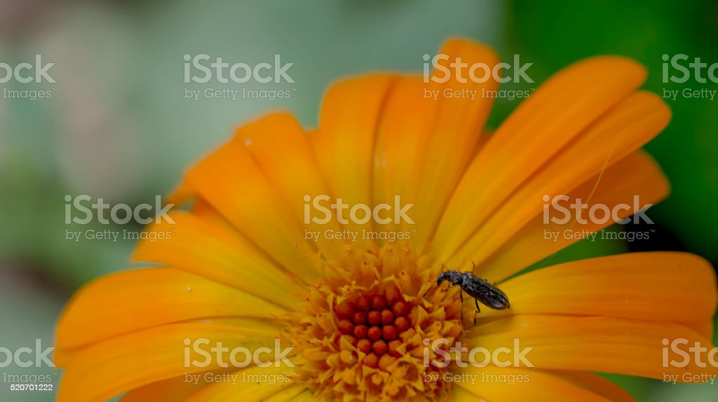 small locust on a flower stock photo