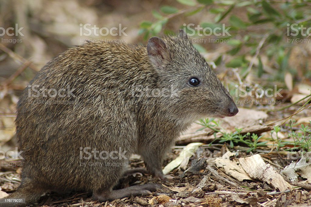 Small Long-Nosed Potoroo royalty-free stock photo