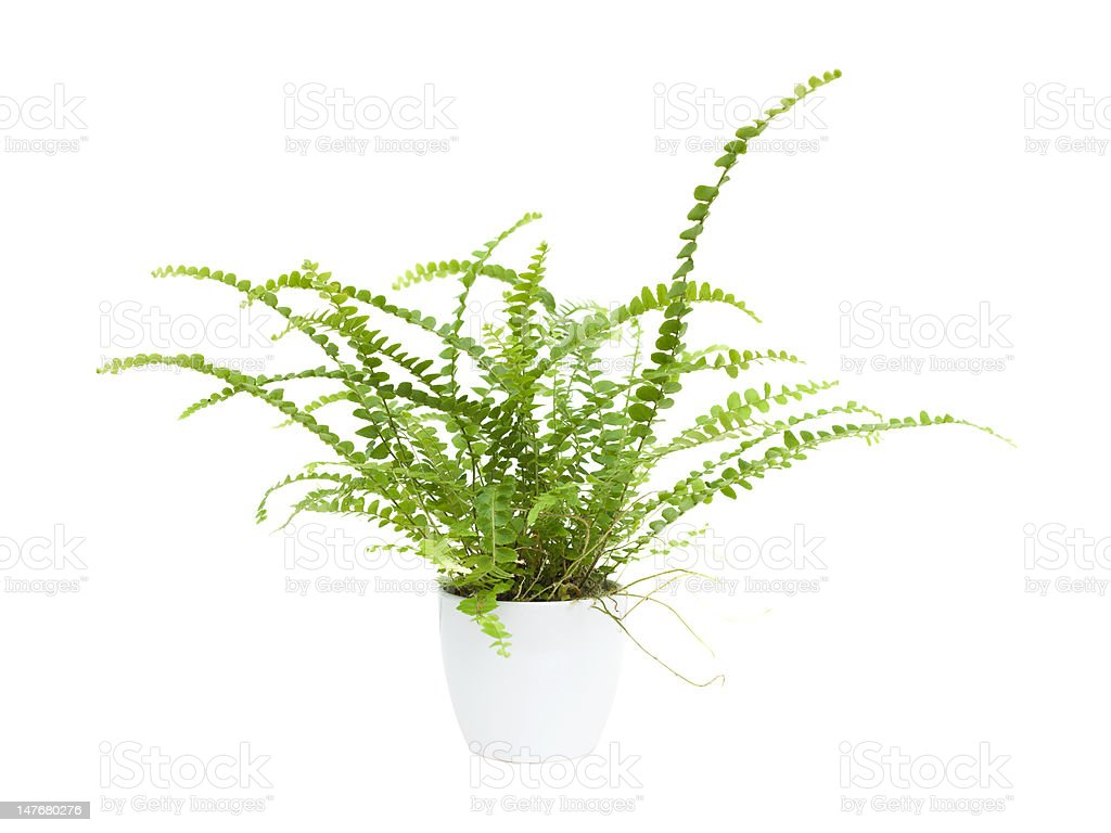 small maidenhair fern royalty-free stock photo
