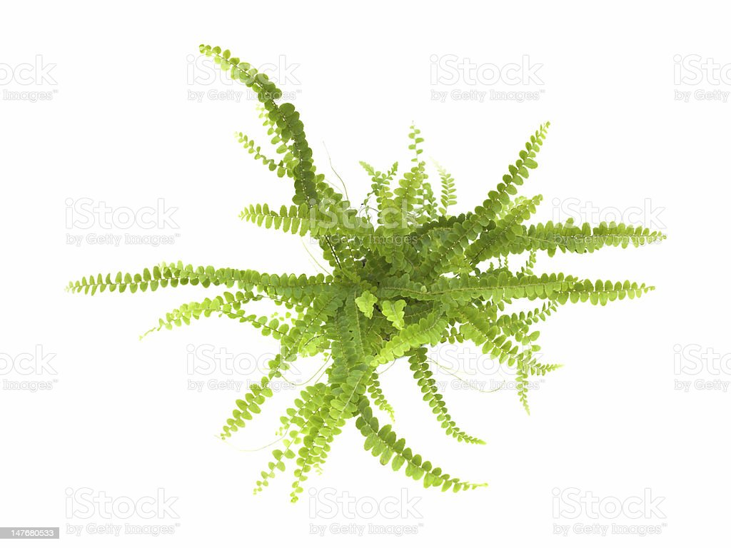 small maidenhair fern shot stock photo