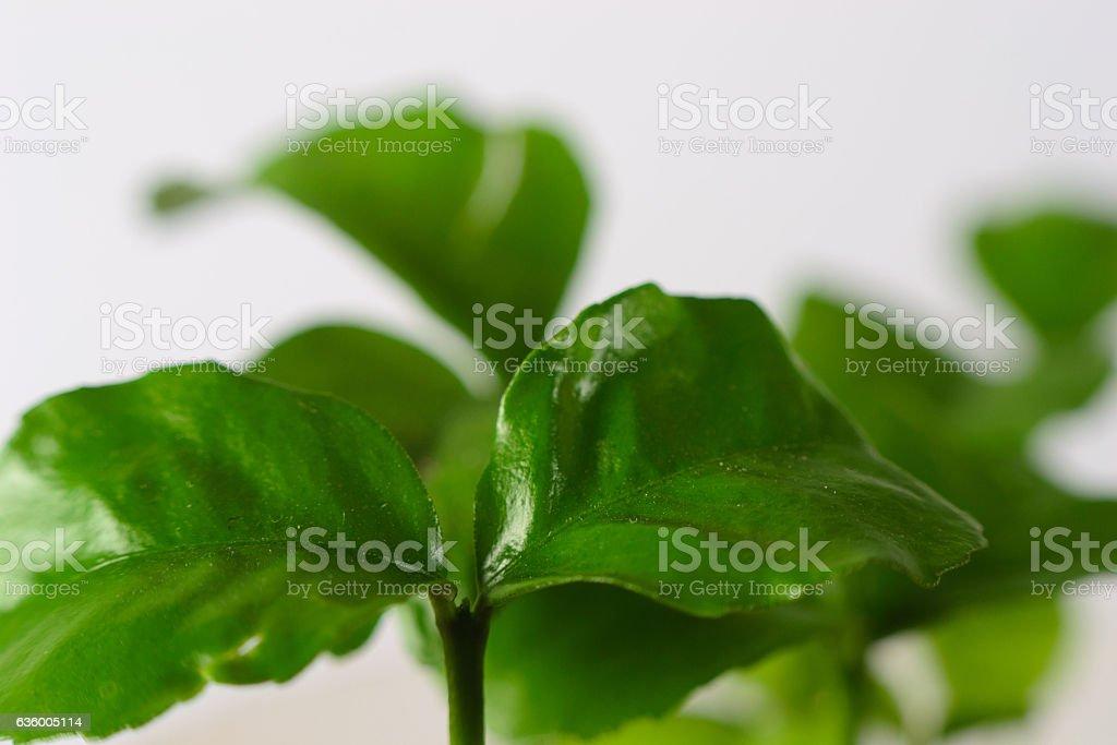 small mandarin sprout stock photo
