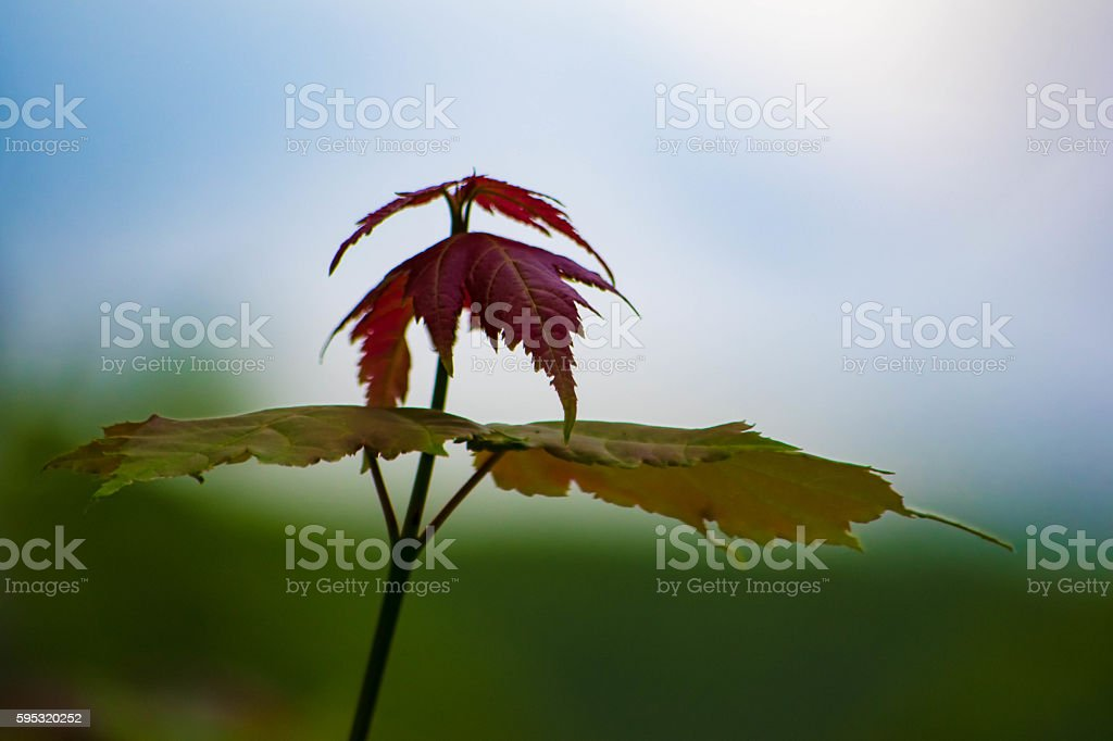 small Maple tree top royalty-free stock photo