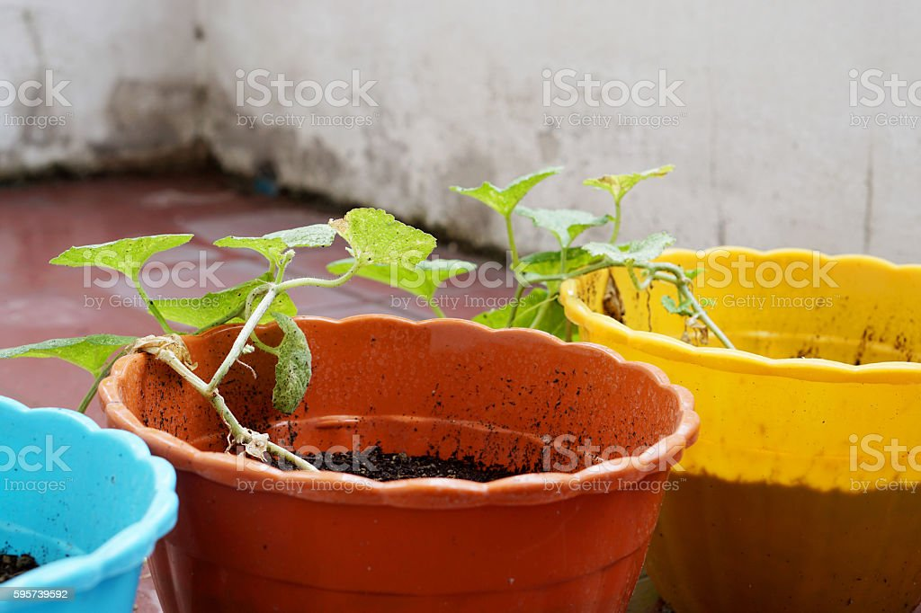 Small Melon plant in colorful pot stock photo