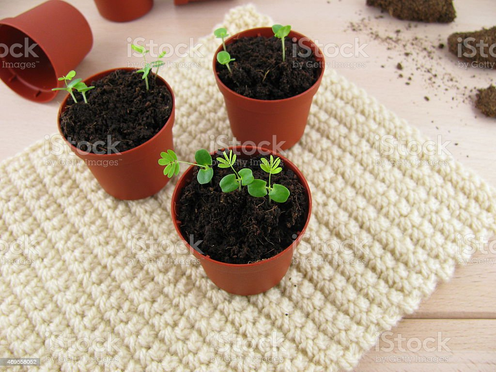 Small mimosa plants stock photo
