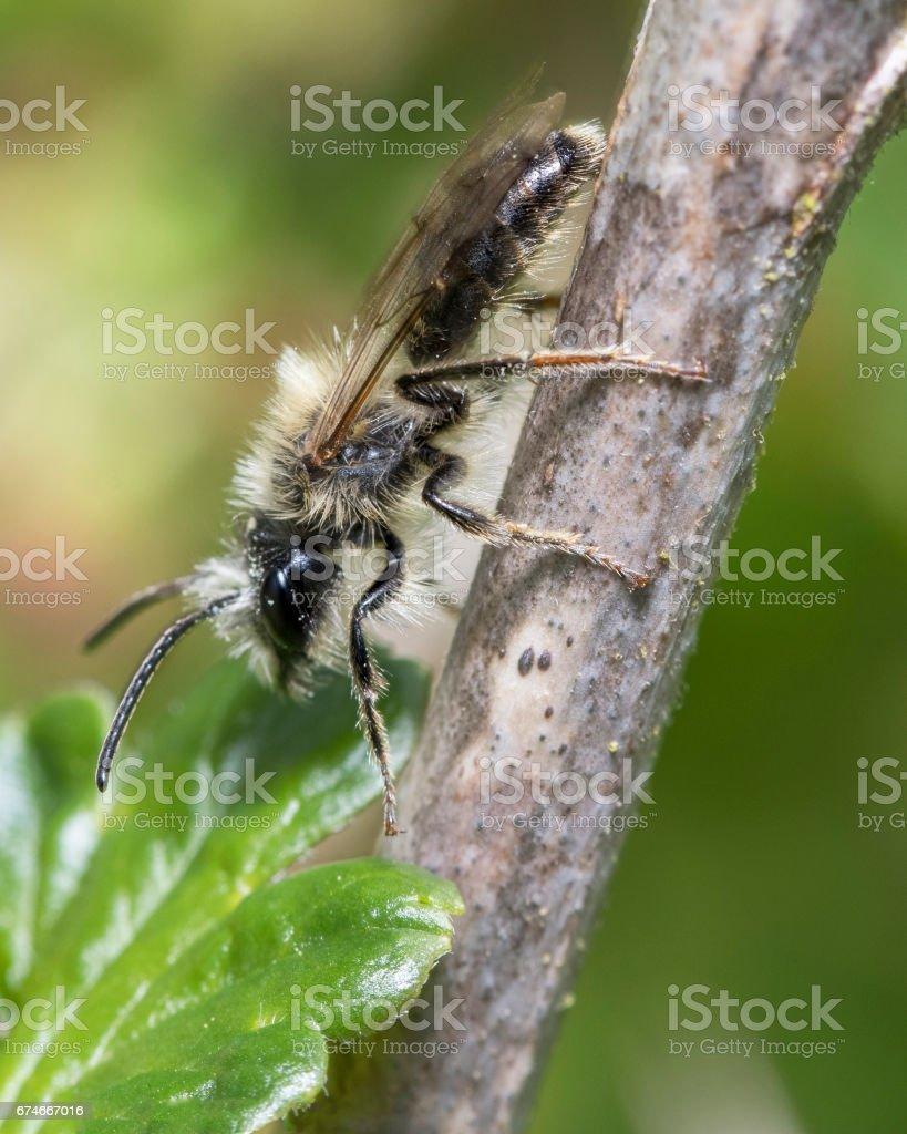 Small mining bee stock photo